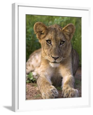 Lion Cub, Panthera Leo, in Kruger National Park Mpumalanga, South Africa-Ann & Steve Toon-Framed Photographic Print