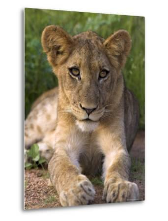 Lion Cub, Panthera Leo, in Kruger National Park Mpumalanga, South Africa-Ann & Steve Toon-Metal Print