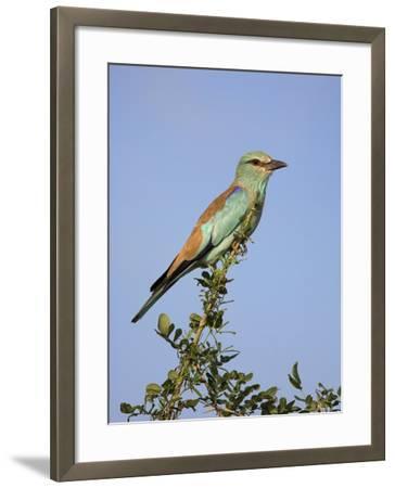 European Roller (Coracias Garrulus), Kruger National Park, South Africa, Africa-Ann & Steve Toon-Framed Photographic Print