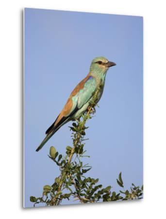 European Roller (Coracias Garrulus), Kruger National Park, South Africa, Africa-Ann & Steve Toon-Metal Print