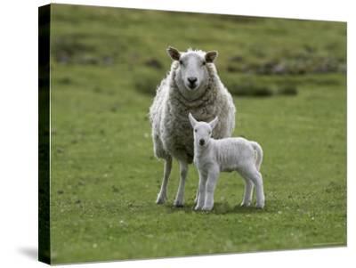 Ewe with Lamb, Scotland, United Kingdom, Europe-Ann & Steve Toon-Stretched Canvas Print