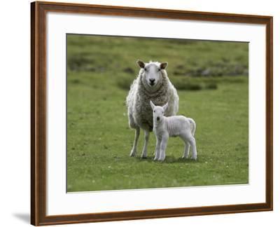 Ewe with Lamb, Scotland, United Kingdom, Europe-Ann & Steve Toon-Framed Photographic Print