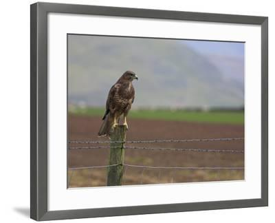Buzzard (Buteo Buteo), Captive, United Kingdom, Europe-Ann & Steve Toon-Framed Photographic Print