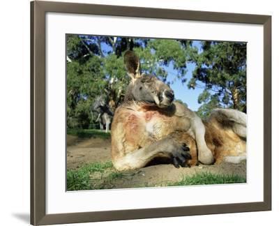 Red Kangaroo, Macropus Rufus, Cleland Wildlife Park, South Australia, Australia-Ann & Steve Toon-Framed Photographic Print