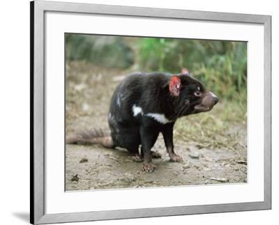 Tasmanian Devil, Sarcophilus Harrisii, in Captivity, Australia, Pacific-Ann & Steve Toon-Framed Photographic Print
