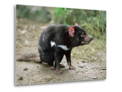 Tasmanian Devil, Sarcophilus Harrisii, in Captivity, Australia, Pacific-Ann & Steve Toon-Metal Print