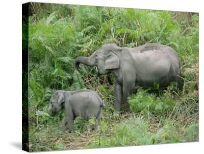 Wild Asian Elephant, Elephas Maximus, Feeding, Kaziranga National Park, Assam, India, Asia-Ann & Steve Toon-Stretched Canvas Print