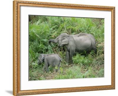 Wild Asian Elephant, Elephas Maximus, Feeding, Kaziranga National Park, Assam, India, Asia-Ann & Steve Toon-Framed Photographic Print