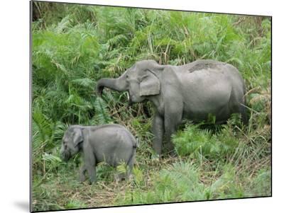 Wild Asian Elephant, Elephas Maximus, Feeding, Kaziranga National Park, Assam, India, Asia-Ann & Steve Toon-Mounted Photographic Print