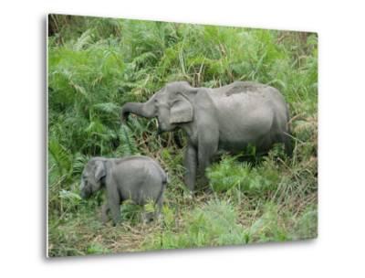 Wild Asian Elephant, Elephas Maximus, Feeding, Kaziranga National Park, Assam, India, Asia-Ann & Steve Toon-Metal Print