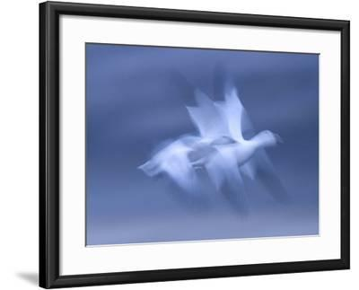 Snow Goose, (Anser Caerulescens), Bosque Del Apache, Soccoro, New Mexico, USA-Thorsten Milse-Framed Photographic Print