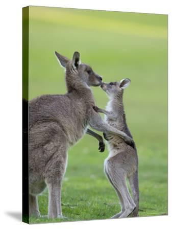 Eastern Grey Kangaroo, (Macropus Giganteus), Great Ocean Road, Anglesea, Victoria, Australia-Thorsten Milse-Stretched Canvas Print