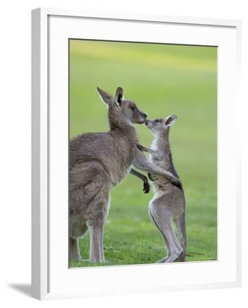 Eastern Grey Kangaroo, (Macropus Giganteus), Great Ocean Road, Anglesea, Victoria, Australia-Thorsten Milse-Framed Photographic Print
