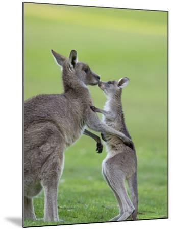 Eastern Grey Kangaroo, (Macropus Giganteus), Great Ocean Road, Anglesea, Victoria, Australia-Thorsten Milse-Mounted Photographic Print