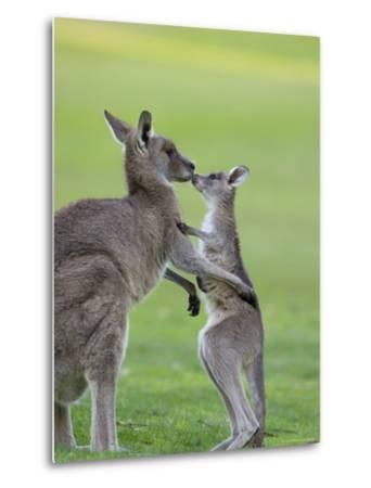 Eastern Grey Kangaroo, (Macropus Giganteus), Great Ocean Road, Anglesea, Victoria, Australia-Thorsten Milse-Metal Print