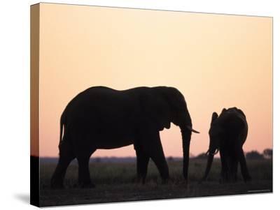 African Elephant, (Loxodonta Africana), Chobe River, Chobe National Park, Botswana-Thorsten Milse-Stretched Canvas Print