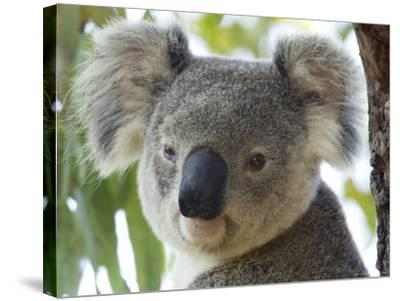Koala, (Phascolartos Cinereus), Magnetic Island, Queensland, Australia-Thorsten Milse-Stretched Canvas Print