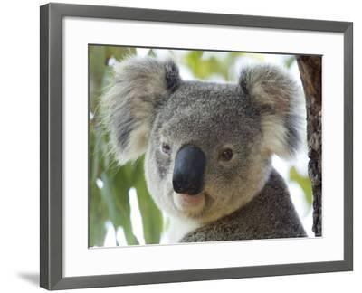 Koala, (Phascolartos Cinereus), Magnetic Island, Queensland, Australia-Thorsten Milse-Framed Photographic Print
