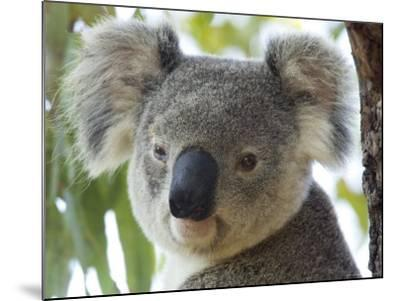 Koala, (Phascolartos Cinereus), Magnetic Island, Queensland, Australia-Thorsten Milse-Mounted Photographic Print