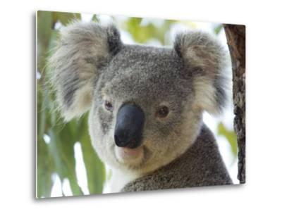 Koala, (Phascolartos Cinereus), Magnetic Island, Queensland, Australia-Thorsten Milse-Metal Print