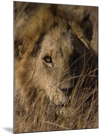 Lion, Panthera Leo, Moremi Wildlife Reserve, Botswana, Africa-Thorsten Milse-Mounted Photographic Print