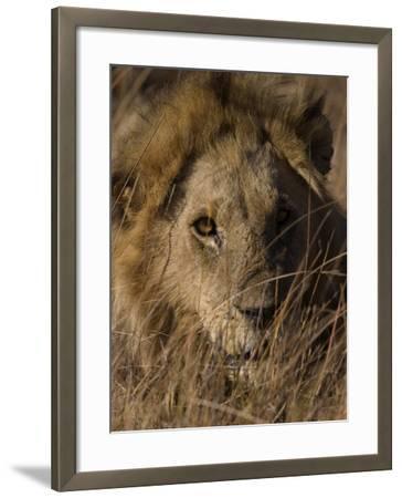 Lion, Panthera Leo, Moremi Wildlife Reserve, Botswana, Africa-Thorsten Milse-Framed Photographic Print