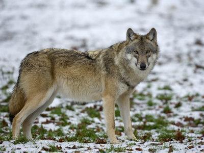 Gray Wolf (Grey Wolf), Canis Lupus, Wildlife Preserve, Rheinhardswald, Germany, Europe-Thorsten Milse-Framed Photographic Print