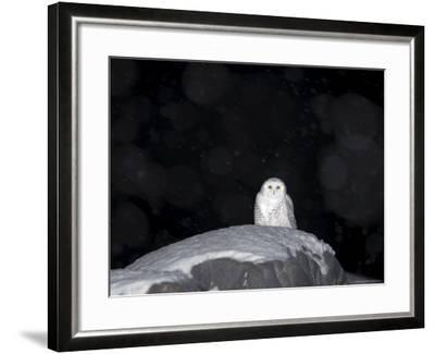 Snow Owl, Nyctea Scandiaca, Churchill, Manitoba, Canada, North America-Thorsten Milse-Framed Photographic Print