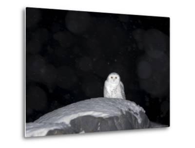Snow Owl, Nyctea Scandiaca, Churchill, Manitoba, Canada, North America-Thorsten Milse-Metal Print