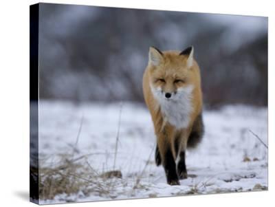 Red Fox, Vulpes Vulpes, Churchill, Manitoba, Canada, North America-Thorsten Milse-Stretched Canvas Print