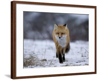 Red Fox, Vulpes Vulpes, Churchill, Manitoba, Canada, North America-Thorsten Milse-Framed Photographic Print