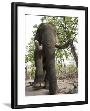 Indian Elephant (Elephus Maximus), Bandhavgarh National Park, Madhya Pradesh State, India, Asia-Thorsten Milse-Framed Photographic Print