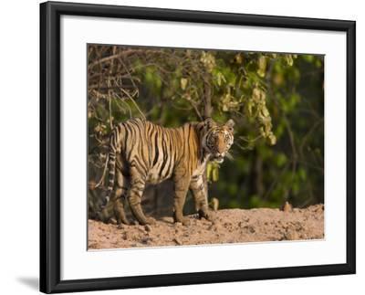 Bengal Tiger, (Panthera Tigris Tigris), Bandhavgarh, Madhya Pradesh, India-Thorsten Milse-Framed Photographic Print