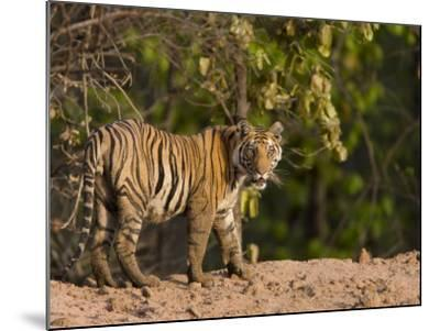 Bengal Tiger, (Panthera Tigris Tigris), Bandhavgarh, Madhya Pradesh, India-Thorsten Milse-Mounted Photographic Print