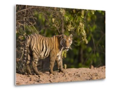 Bengal Tiger, (Panthera Tigris Tigris), Bandhavgarh, Madhya Pradesh, India-Thorsten Milse-Metal Print