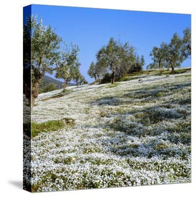 Olives Groves and Wild Flowers, Greece, Europe-Tony Gervis-Stretched Canvas Print