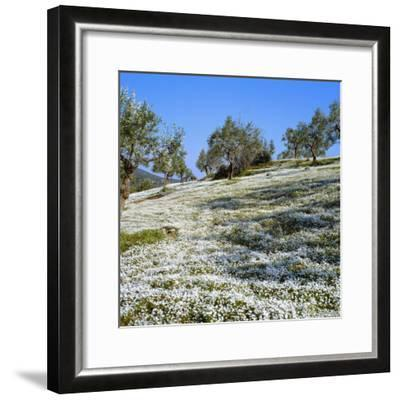 Olives Groves and Wild Flowers, Greece, Europe-Tony Gervis-Framed Photographic Print