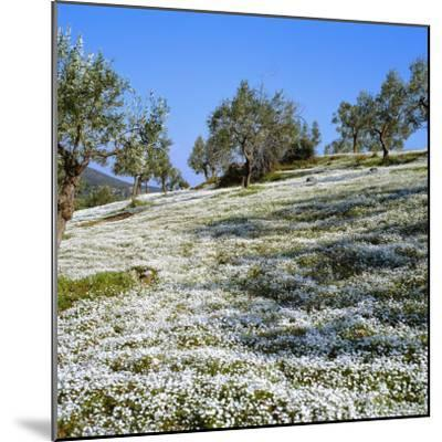 Olives Groves and Wild Flowers, Greece, Europe-Tony Gervis-Mounted Photographic Print
