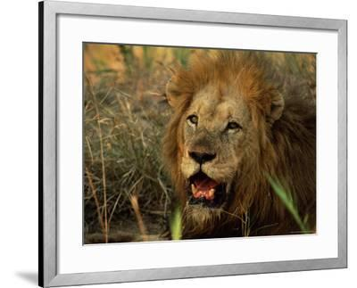Close-Up of Male Lion (Panthera Leo), Mala Mala Game Reserve, Sabi Sand Park, South Africa, Africa-Sergio Pitamitz-Framed Photographic Print