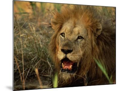 Close-Up of Male Lion (Panthera Leo), Mala Mala Game Reserve, Sabi Sand Park, South Africa, Africa-Sergio Pitamitz-Mounted Photographic Print