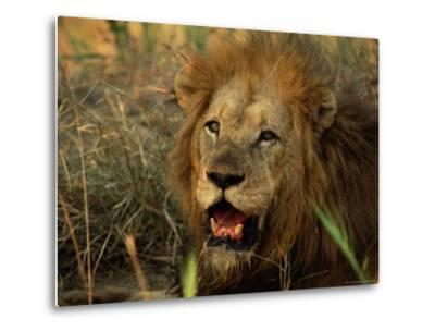 Close-Up of Male Lion (Panthera Leo), Mala Mala Game Reserve, Sabi Sand Park, South Africa, Africa-Sergio Pitamitz-Metal Print