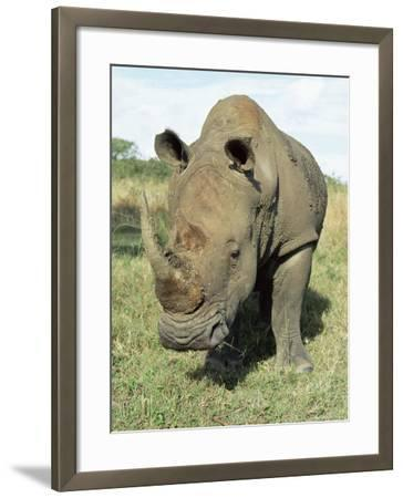 White Rhinoceros (Rhino), Ceratotherium Simum, Itala Game Reserve, Kwazulu-Natal, South Africa-Ann & Steve Toon-Framed Photographic Print