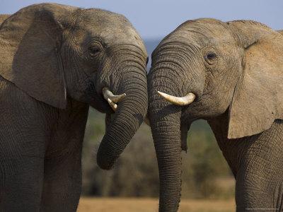 Elephants Socialising in Addo Elephant National Park, Eastern Cape, South Africa-Ann & Steve Toon-Framed Photographic Print