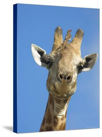 Giraffe, Giraffa Camelopardalis, with Redbilled Oxpecker, Mpumalanga, South Africa-Ann & Steve Toon-Stretched Canvas Print