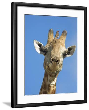 Giraffe, Giraffa Camelopardalis, with Redbilled Oxpecker, Mpumalanga, South Africa-Ann & Steve Toon-Framed Photographic Print
