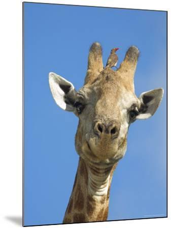 Giraffe, Giraffa Camelopardalis, with Redbilled Oxpecker, Mpumalanga, South Africa-Ann & Steve Toon-Mounted Photographic Print
