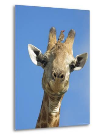 Giraffe, Giraffa Camelopardalis, with Redbilled Oxpecker, Mpumalanga, South Africa-Ann & Steve Toon-Metal Print