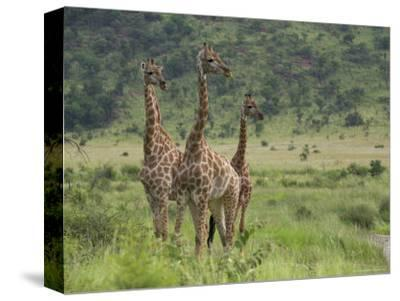 Three Giraffes, Pilanesberg Game Reserve, North West Province, South Africa, Africa-Ann & Steve Toon-Stretched Canvas Print