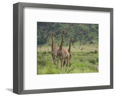 Three Giraffes, Pilanesberg Game Reserve, North West Province, South Africa, Africa-Ann & Steve Toon-Framed Photographic Print