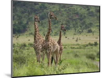 Three Giraffes, Pilanesberg Game Reserve, North West Province, South Africa, Africa-Ann & Steve Toon-Mounted Photographic Print